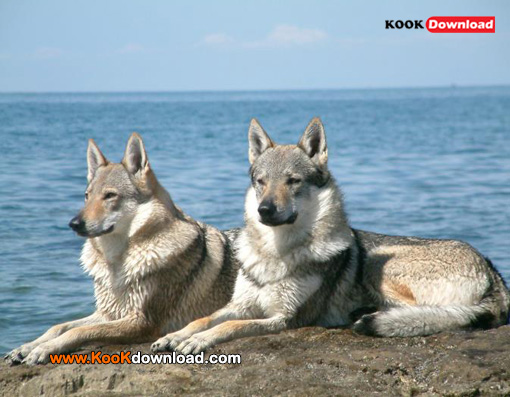 داستان عجیب گرگهای هیبریدی Hybrid wolves